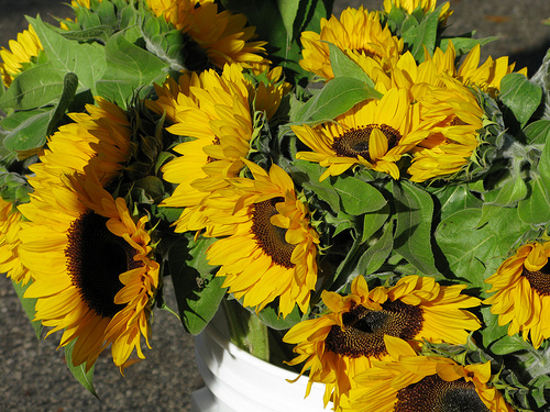 Sunflowers blooms | Foodal