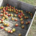 apple picking in the midwest