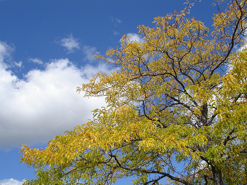 Image of a treetop with fluffy clouds and the blue sky as the background.