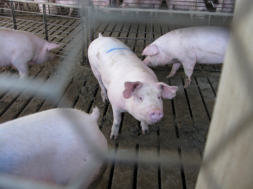 A number of pigs in a pig farm.