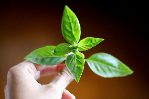An image of a hand holding a stem of a fresh basil.