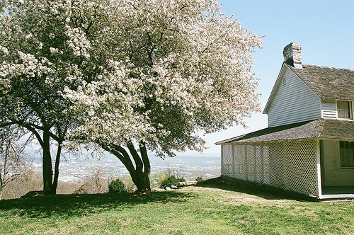 An image of a tree covered in blooms, near a beautiful house.