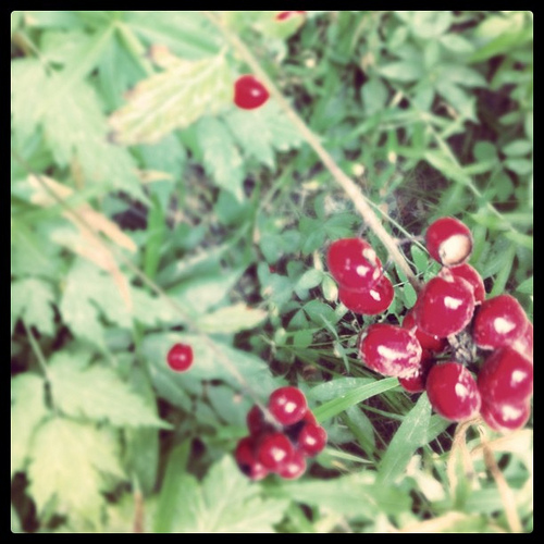 A closeup image of wild berries perfect for foraging.