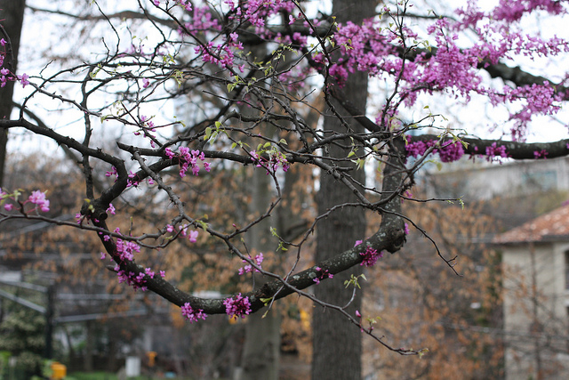 An image of a tree with its branches filled with pink blossoms.