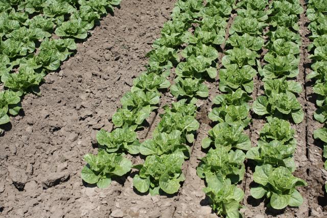 DOLE lettuce