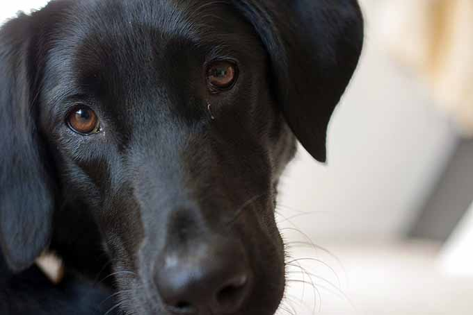 A cute black Labrador Retriever looking into the camera.