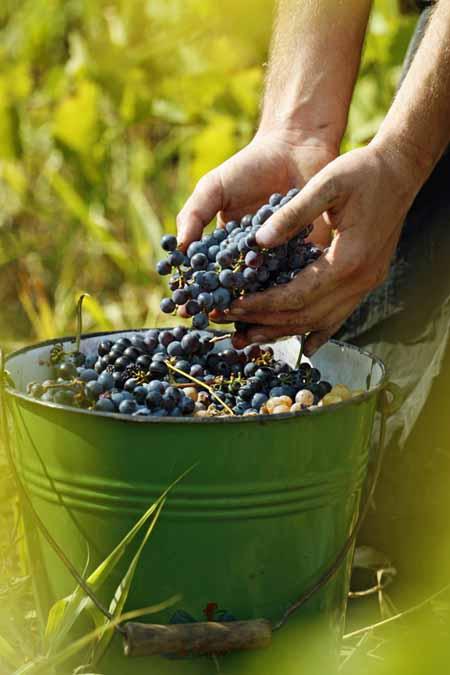 Making Wine at Home   Foodal.com