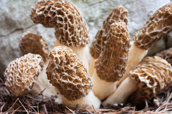 black morel mushrooms from the midwest
