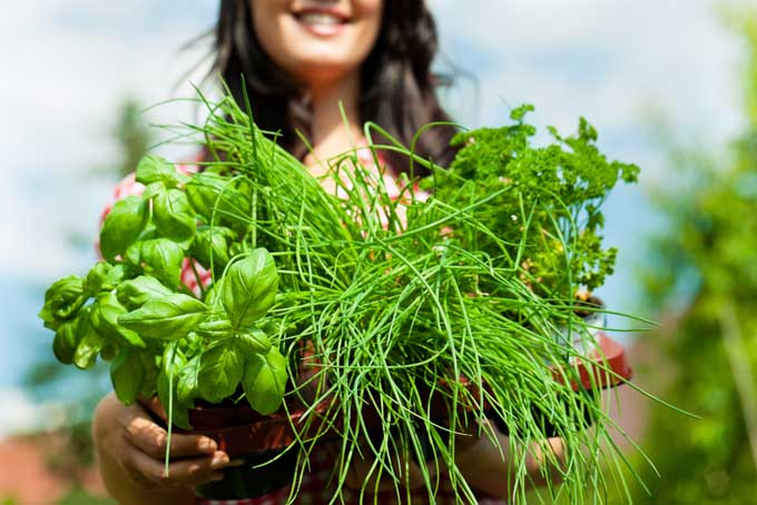 Harvesting Herbs   Foodal