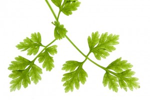 Chervil – An Uncommonly Healthy Herb