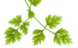 Chervil is an uncommon herb used both in cuisine and as a tea for its healthy effects | Foodal.com