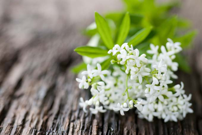 A boquet of sweet woodruff | Foodal.com