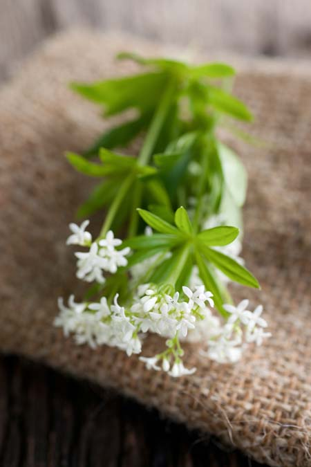 Sweet Woodruff Flowers | Foodal.com