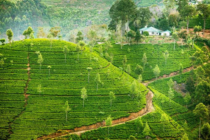Ceylon Sri Lanka Tea Plantation | Foodal.com