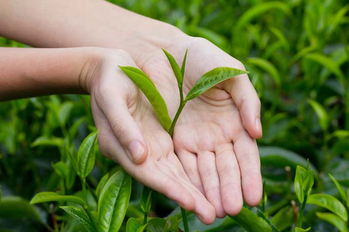 Darjeeling Tea Plants | Foodal.com