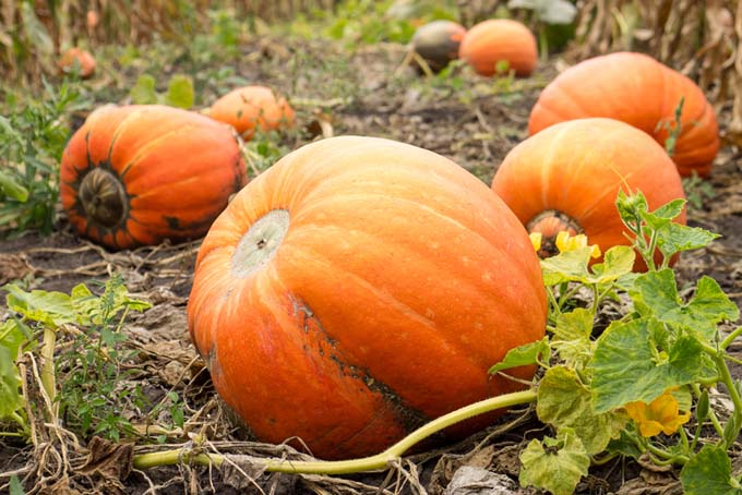Health Benefits of Pumpkin | Foodal.com