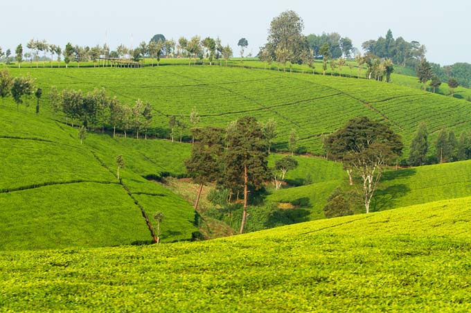 Tea Plantation in Kenya | Foodal.com