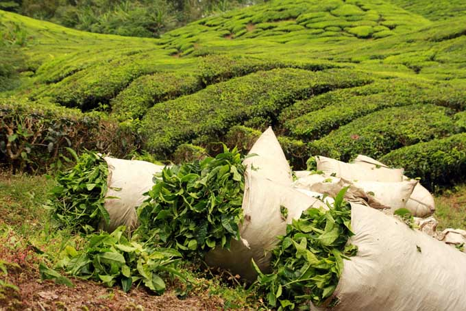 Tea plantation Assam India | Foodal.com