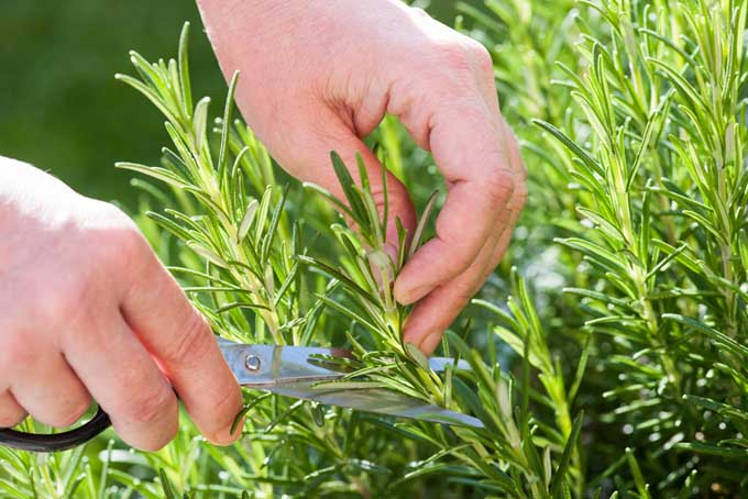 Cultivating Rosemary | Foodal.com