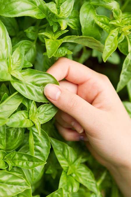 Italian Large Leaf Basil | Foodal.com