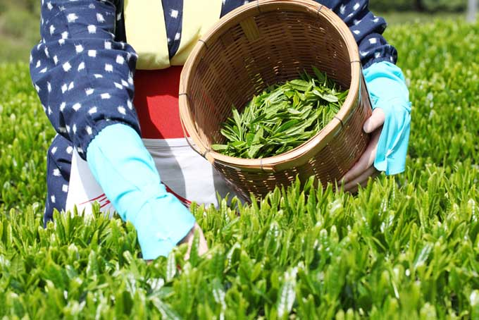 Japanse woman picking tea | Foodal.com