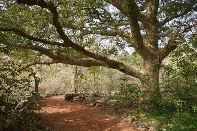 Nutmeg Tree - Myristica frangans | Foodal.com