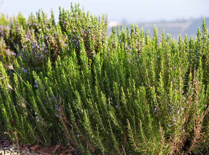 Wild Rosemary in Italy | Foodal.com
