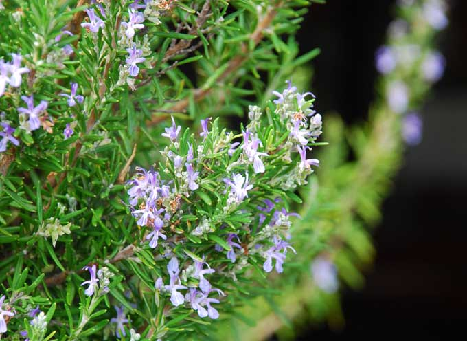 The Delicate Blue Purple Blooms of a Rosemary Bush | Foodal.com