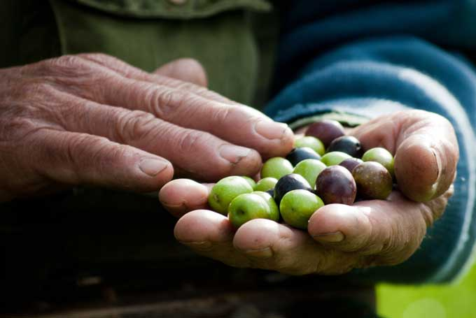 Picking olives for pressing oil | Foodal.com