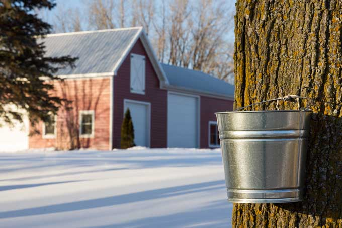 Tapping Maple Trees for Sap | Foodal.com
