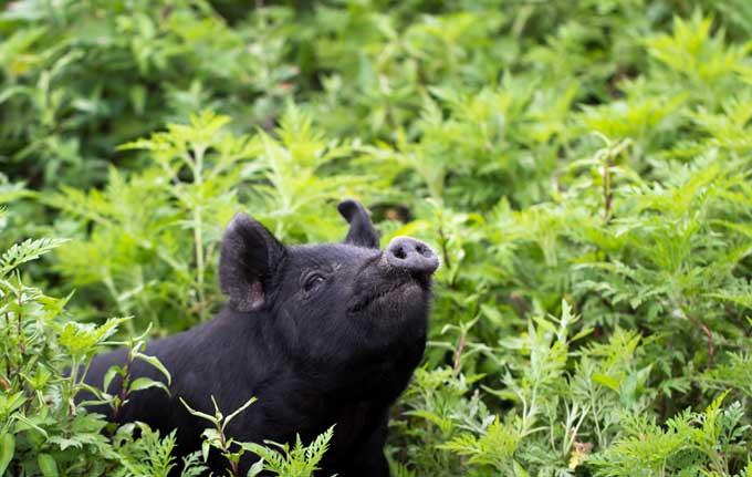 American Guinea Hog | Foodal.com