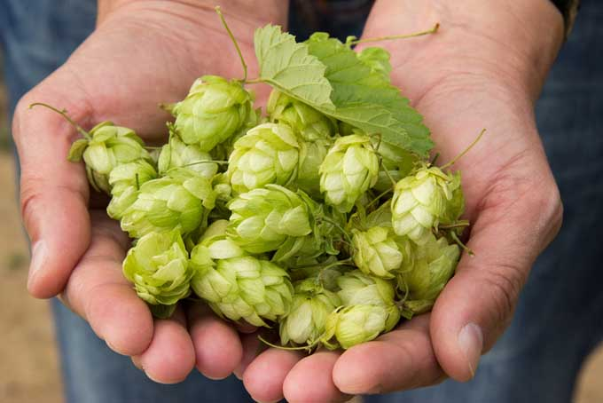 Fresh Hops for Beer | Foodal.com