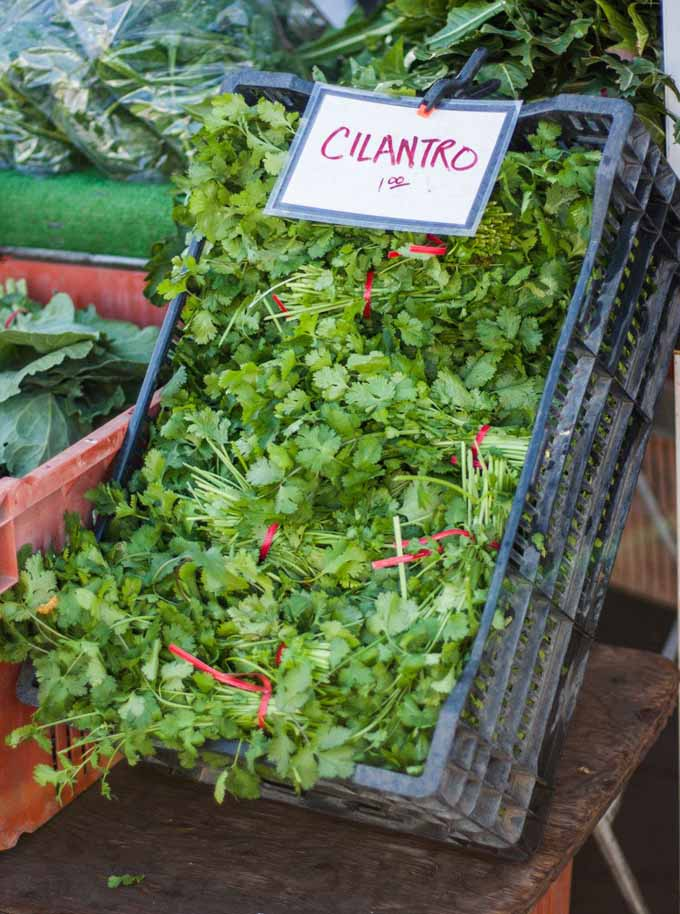 A large plastic crate full of cilantro bundled into bunches and with a sign advertising them for sell for a $1 a bundle.