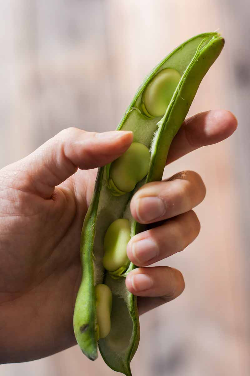 Vertical image of a hand holding a fresh fava bean.