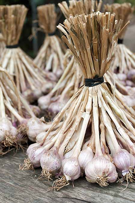 Drying Garlic After Harvest