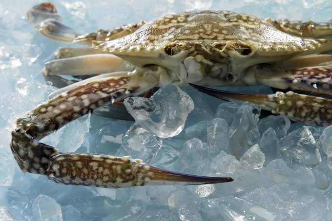 How to buy clean and cook crabs the right way foodal for How to euthanize a fish