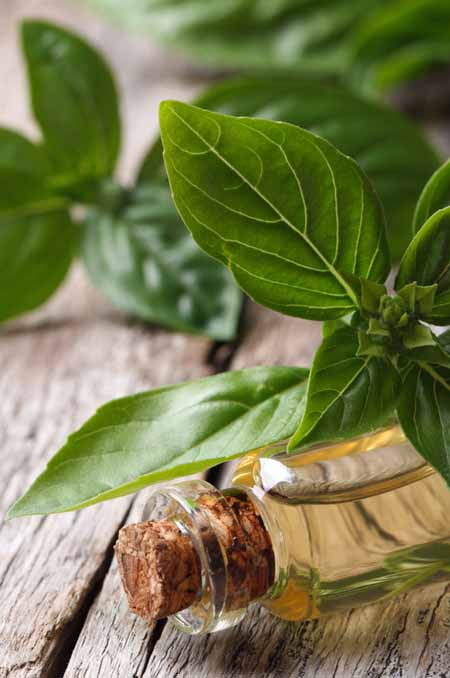 Basil - Cooking With Essential Oils | Foodal.com