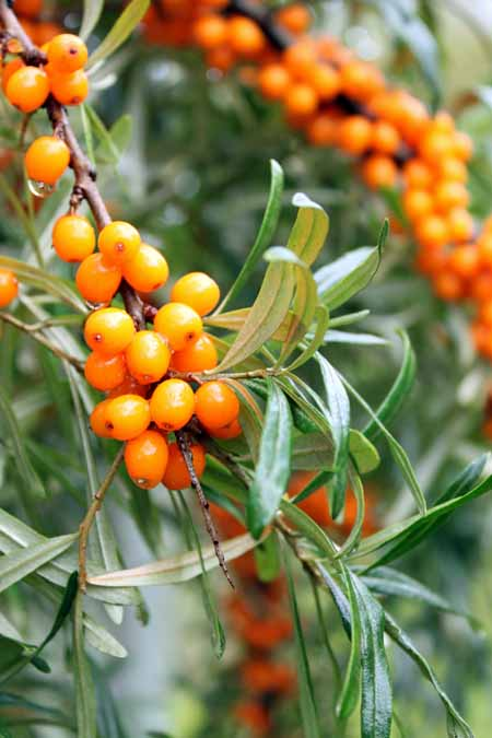 Sea Buckthorn Bush - The Superfood You've Probably Never Heard Of | Foodal.com
