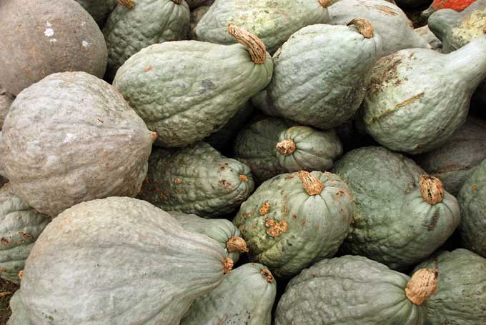 How to Cook Winter Squash - Blue Hubbard | Foodal.com