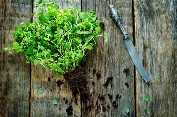 Garden Fresh Oregano | Foodal.com