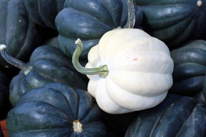 White Acorn Squash | Foodal.com