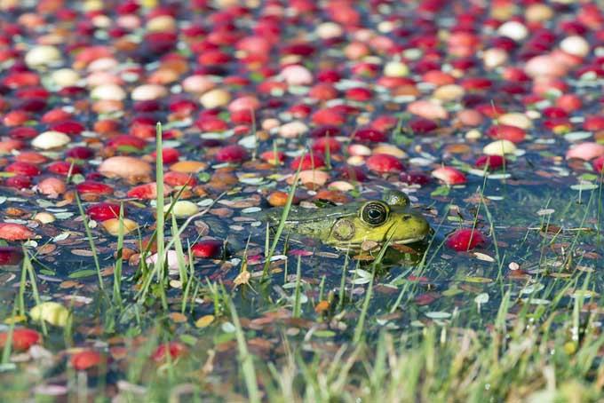 Cranberry Bog | Foodal.com