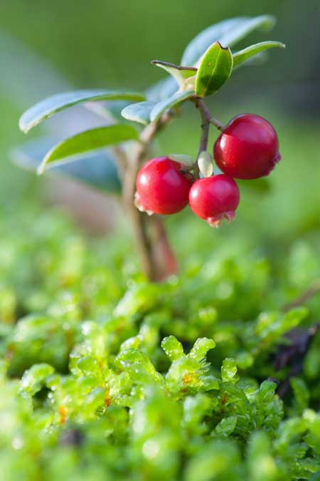 Cranberry Bush | Foodal.com