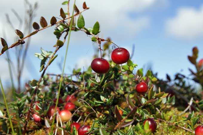 Cranberry Bushes | Foodal.com