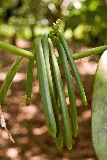 Vanilla Bean Pods | Foodal.com