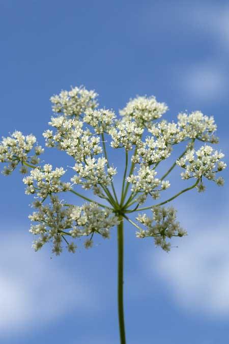 Common Anise - pimpinella anisum | Foodal.com