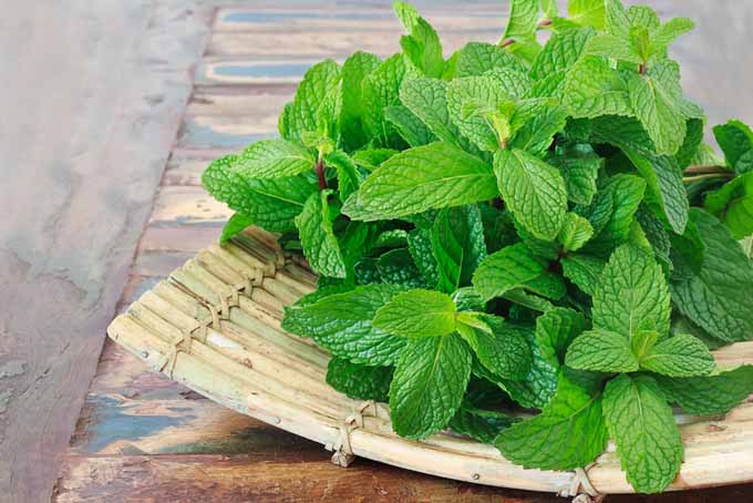 Mint can help with stomachaches and inflammation | Foodal.com