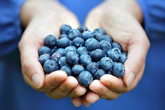 Use the flavonoids in blueberries to reduce pain | Foodal.com