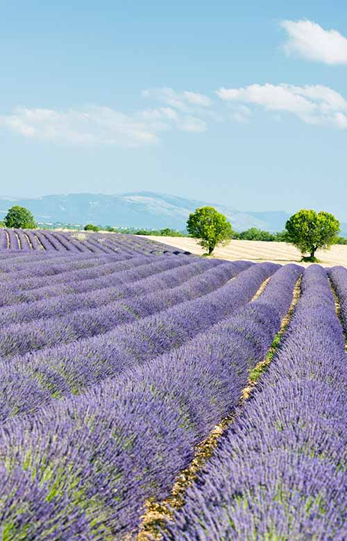 Field of Lavender | Foodal.com