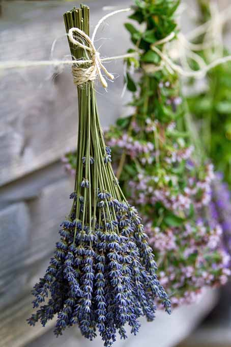 Hanging Bunches of Lavender | Foodal.com